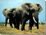 В камерунском заповеднике погибли сотни слонов