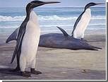 В Новой Зеландии нашли самого большого ископаемого пингвина