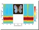 Тропические бабочки научат людей измерять температуру