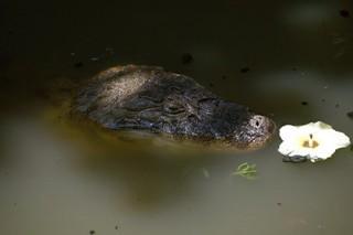В Бангладеш до смерти закормили священного крокодила