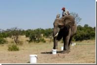 В ЮАР слонов начали обучать поиску взрывчатки