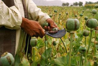 Каждый седьмой афганец работает на опиумных плантациях