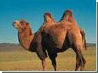 Во дела... Православный священник пересечет Эфиопию на верблюде