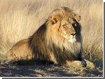 Полиция конфисковала у румына домашних львов