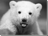 В берлинском зоопарке поставят памятник медведю Кнуту