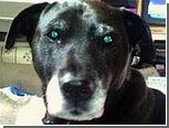 Американского пса номинировали на награду за спасение хозяина
