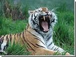 Директора зоопарка посадили за продажу мертвых тигров