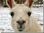 В Воронеже из цирка сбежали ламы и верблюды