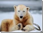 В берлинском зоопарке умер медведь Кнут