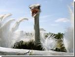 Украденный страус сбежал от похитителей и вернулся домой