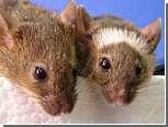 Поющие мыши запутали ученых