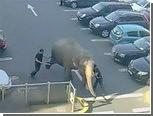 В Ирландии взбунтовалась цирковая слониха