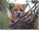 Канадский лис облюбовал воронье гнездо