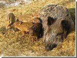 Кабаниха Пулька получила звание лучшей мамы красноярского зоопарка