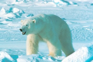 В Арктике раскрыли убийство белого медведя