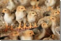 В Великобритании столкнулись с дефицитом экспертов по определению пола цыплят
