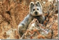 В Китае впервые за 22 года зоологи заметили «волшебного кролика»