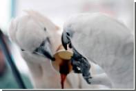 У палестинских попугаев появилась кофеиновая зависимость