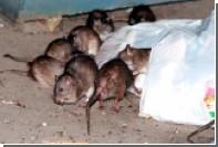 У крыс в Нью-Йорке нашли блох — возбудителей бубонной чумы