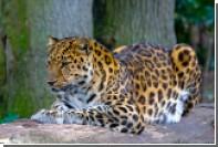 Впервые показано видео брачных игр амурского леопарда