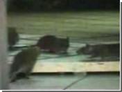 Нью-йоркский инспектор дала положительную оценку ресторану с крысами (видео)