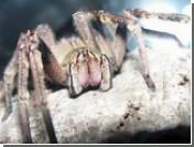 В Израиле придумали лечить импотенцию с помощью укуса паука