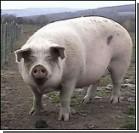 В Колу попали свиные экскременты