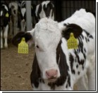 Грозный ящур напал на стадо коров