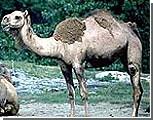 В Арабских Эмиратах проходит конкурс красоты среди верблюдов