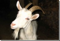 Фермер обменял свою жену на козу