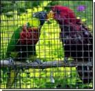 Токийский попугай разгадывает головоломки гораздо быстрее людей