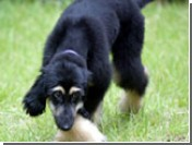 Первый клонированный пес готовится стать отцом