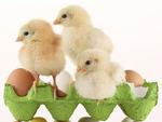 Американским семьям предложили взять цыплят напрокат