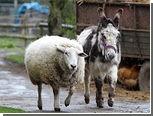 Английскую ослицу наградили за спасение барана