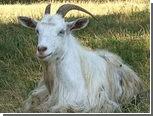 В американский музыкальный магазин пришел бесхозный козел
