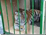 В Хабаровске амурскому тигру сделали пластическую операцию