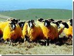 Фермер выкрасил овец в оранжевый цвет