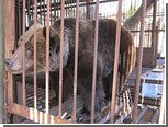Украинская медведица Ирина переехала в реабилитационный центр