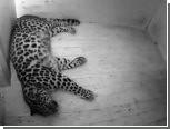 Таллинский зоопарк проведет прямую трансляцию рождения леопарда