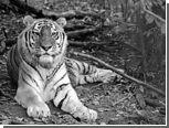 В Хабаровском крае умер тигр-долгожитель Лютый