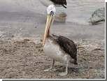 На пляже в Перу нашли более 500 мертвых пеликанов