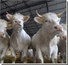 Иностранец украл 18 коров в Кривом Роге