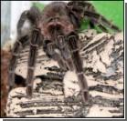 У американського мальчика в ухе поселились… пауки!