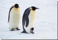 Пингвина-путешественника нашли в Перу - почти в 5 тысячах километров от его родных краев