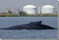 В США песнями спасут двух китов
