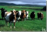 Гены коровы отвечают за свойства молока