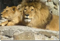 В Ялтинском зоопарке родилось пятеро львят