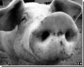 Свиной грипп переименовали