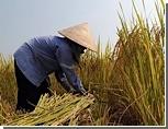 Королевские быки предсказали Камбодже плохой урожай риса / Местные жители в панике