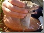 Австралийка объявила награду за укравшую вставные зубы крысу